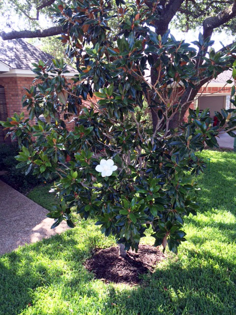 Hope's magnolia tree with the single bloom.