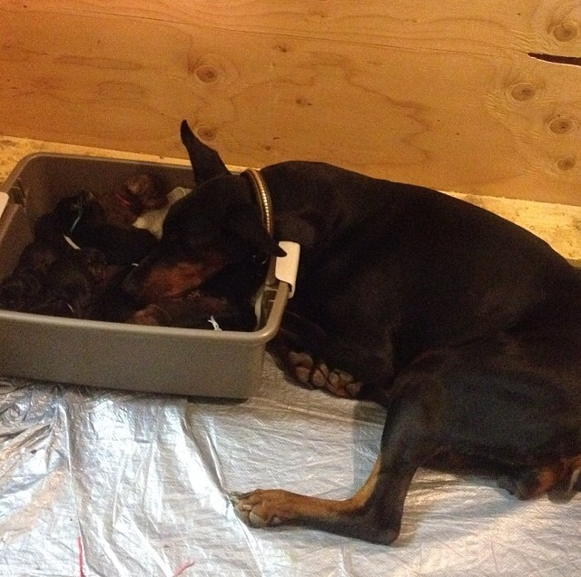 Lex watches over her puppies in the warming box.
