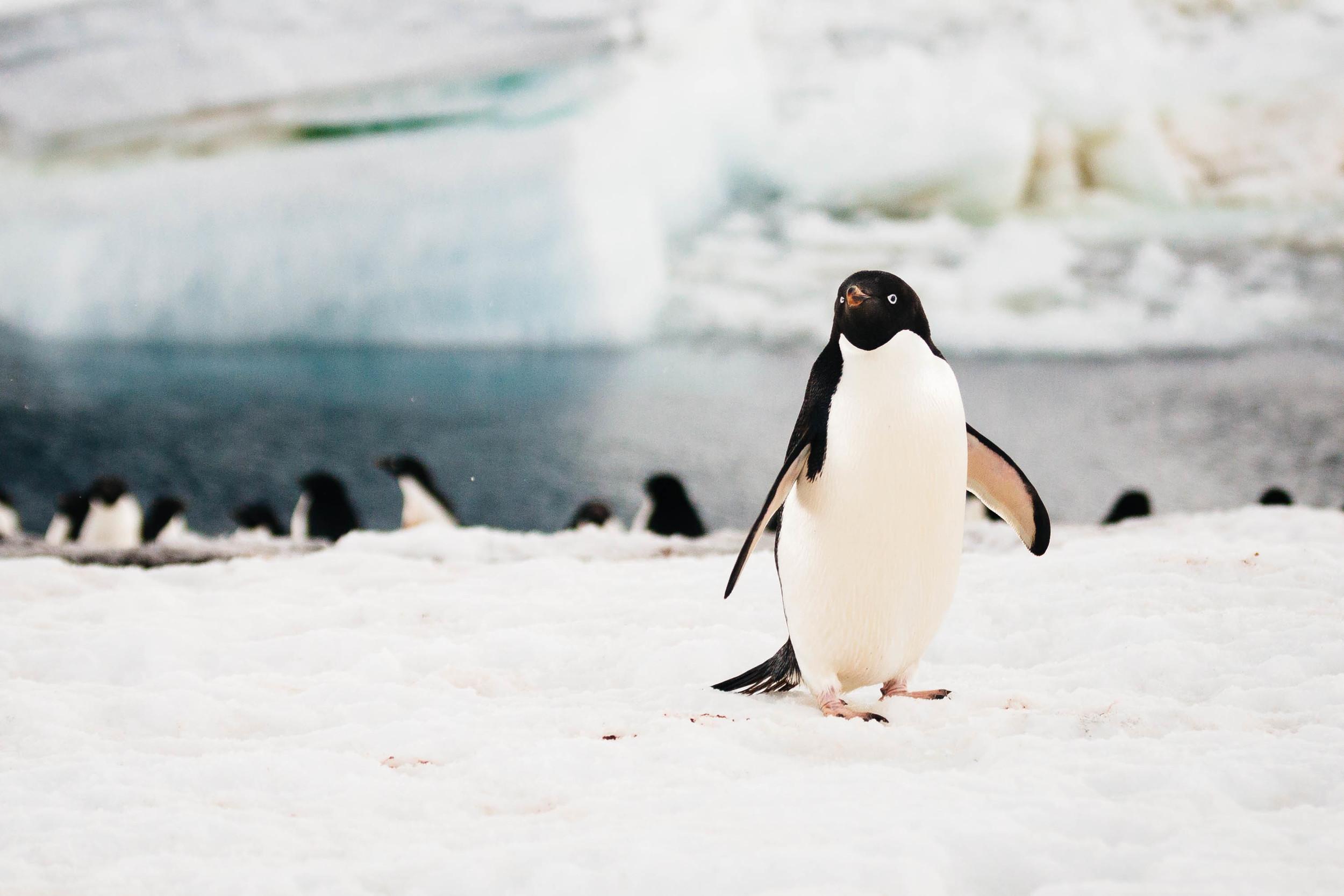 A curiousAdélie penguin wanders toward me, leaving his friends by the shore.