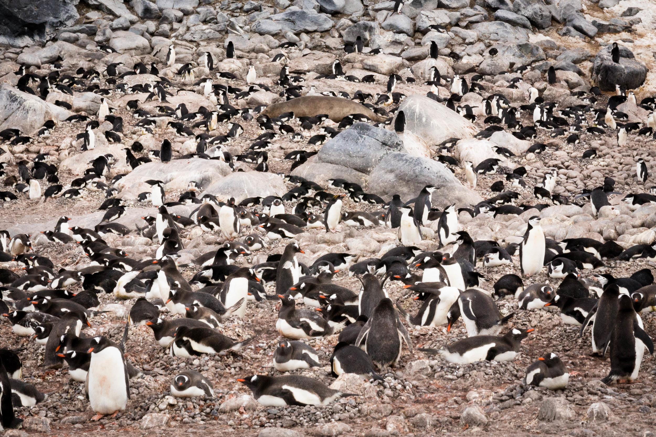 Can you spot the vagrant Macaroni penguin? Fort Point, South Shetland Islands.