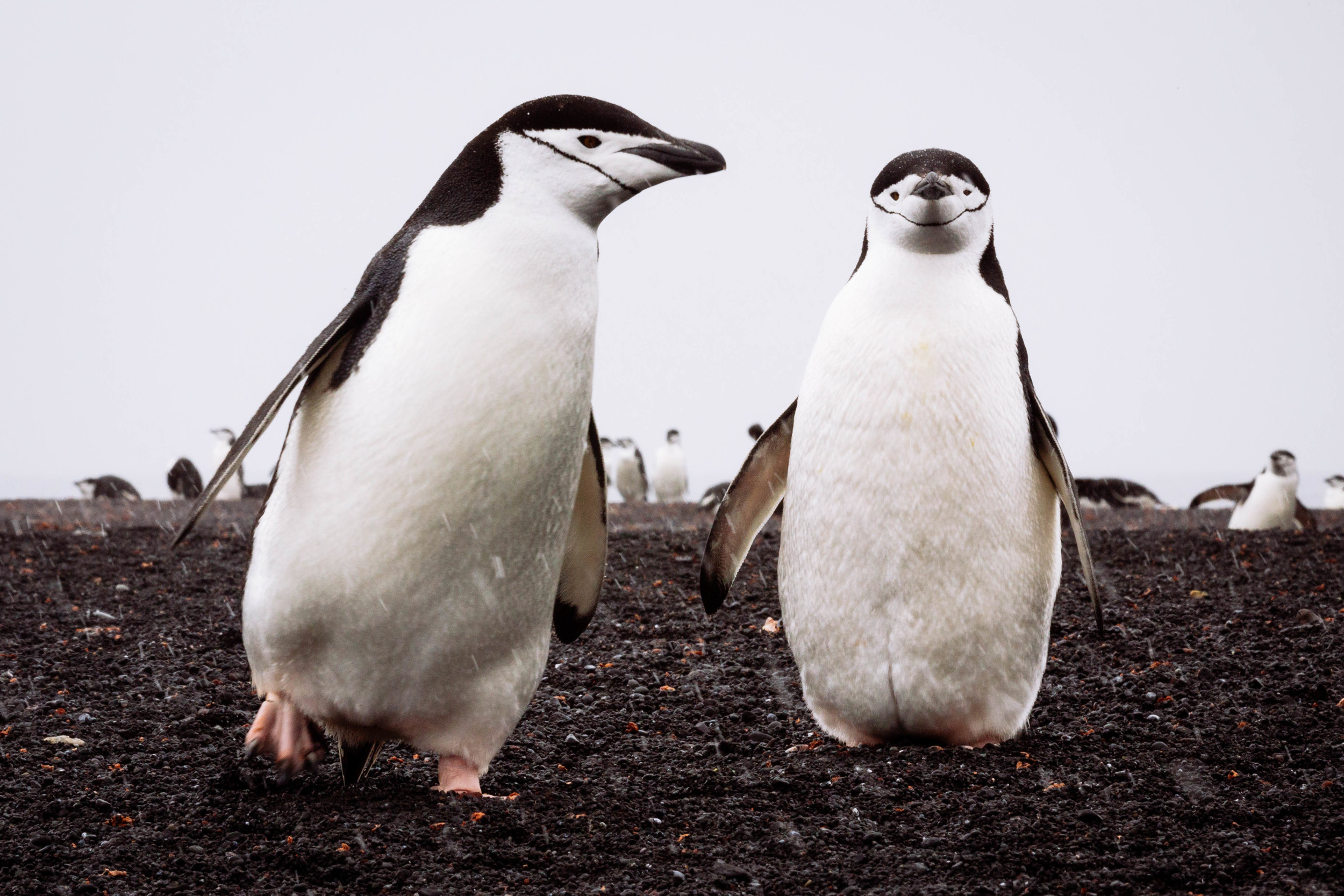 A pair of chinstrap penguins among thousands living on Bailey Head, Deception Island.