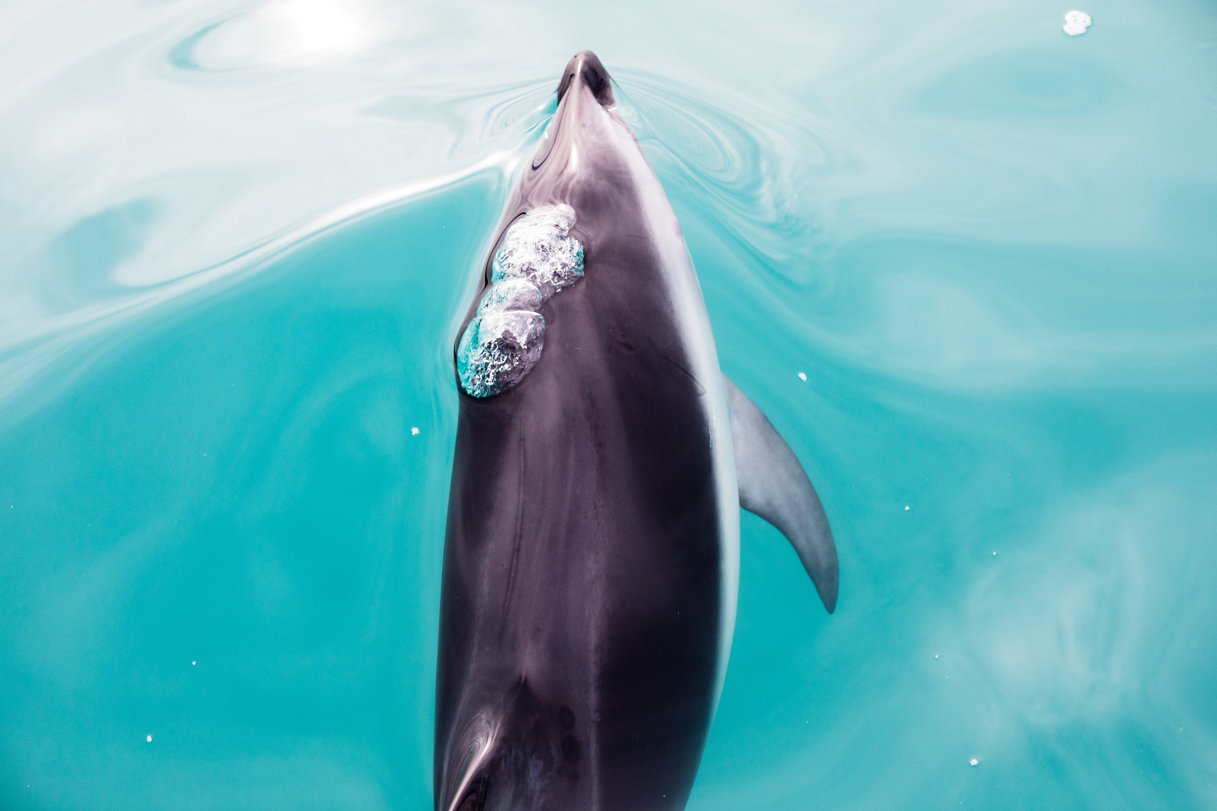 Swimming Dusky Dolphin Kairkoura, New Zealand