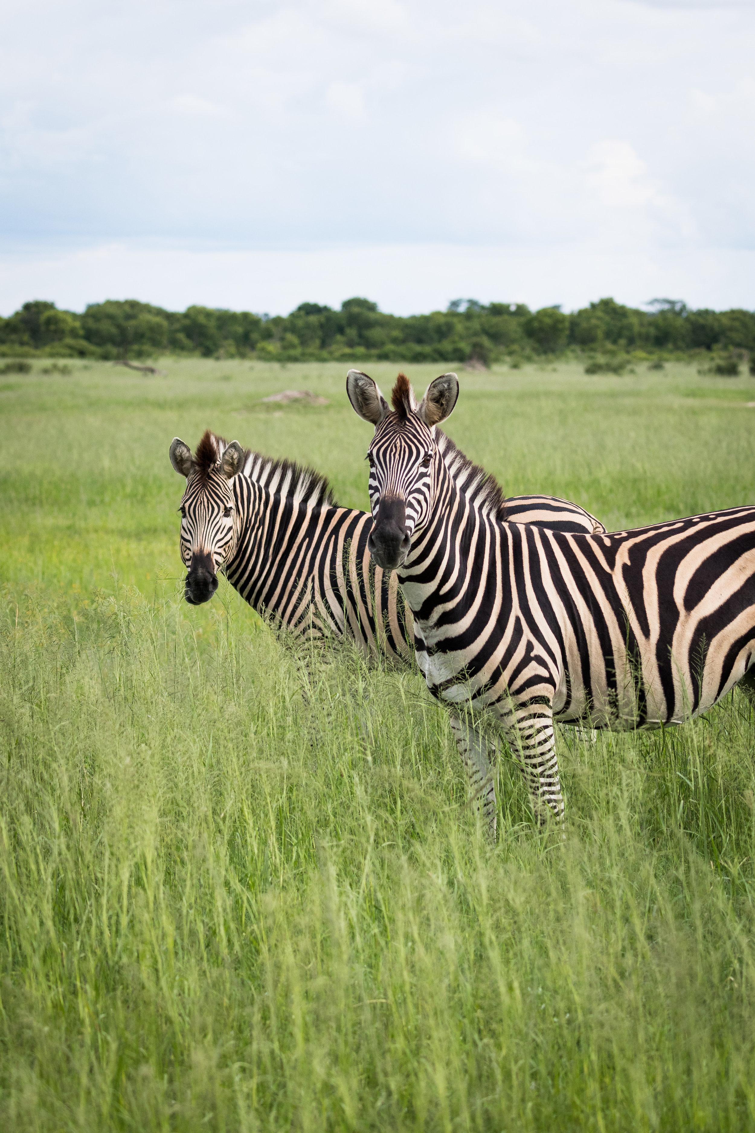 Two Zebras Hwange National Park, Zimbabwe