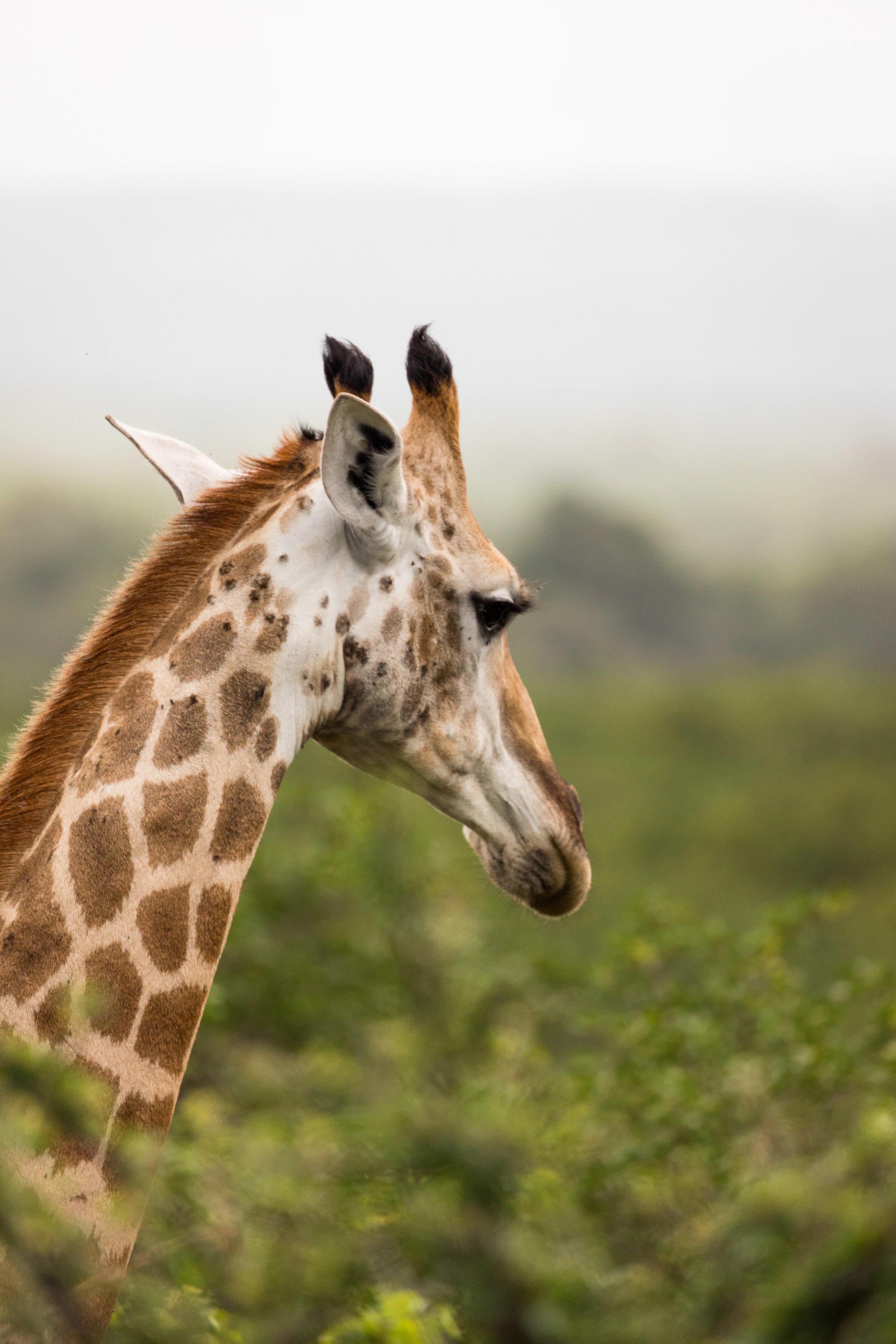 Giraffe Portrait Kruger National Park, South Africa