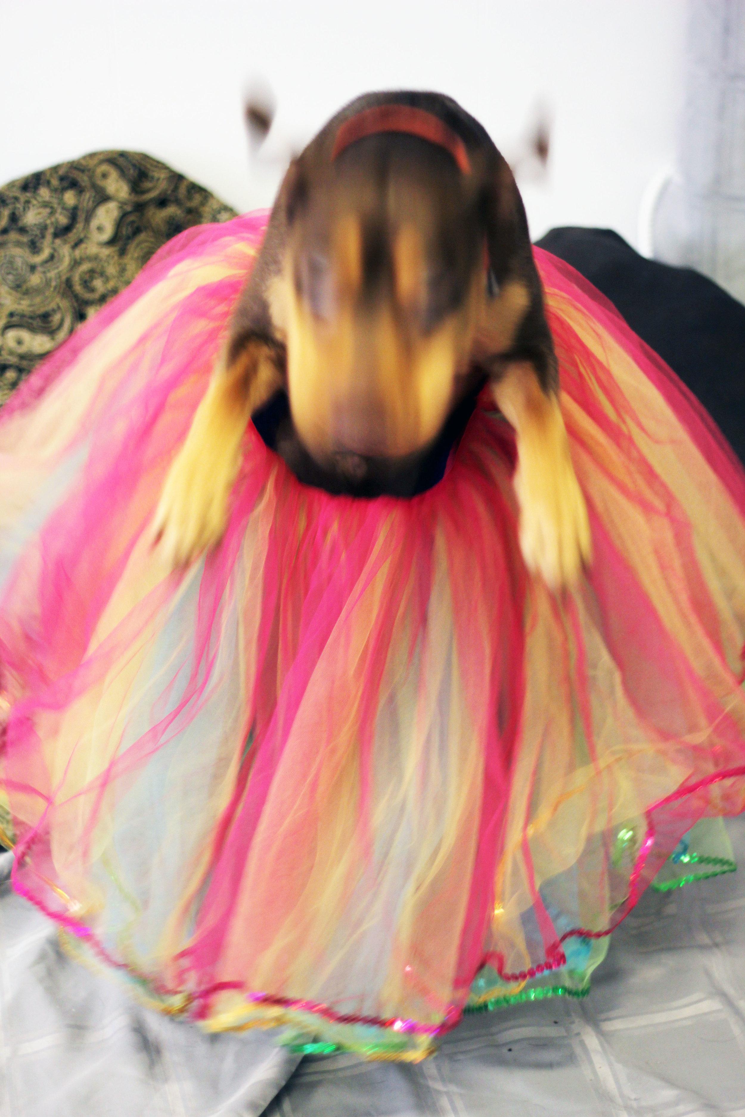 Dog jump in tutu