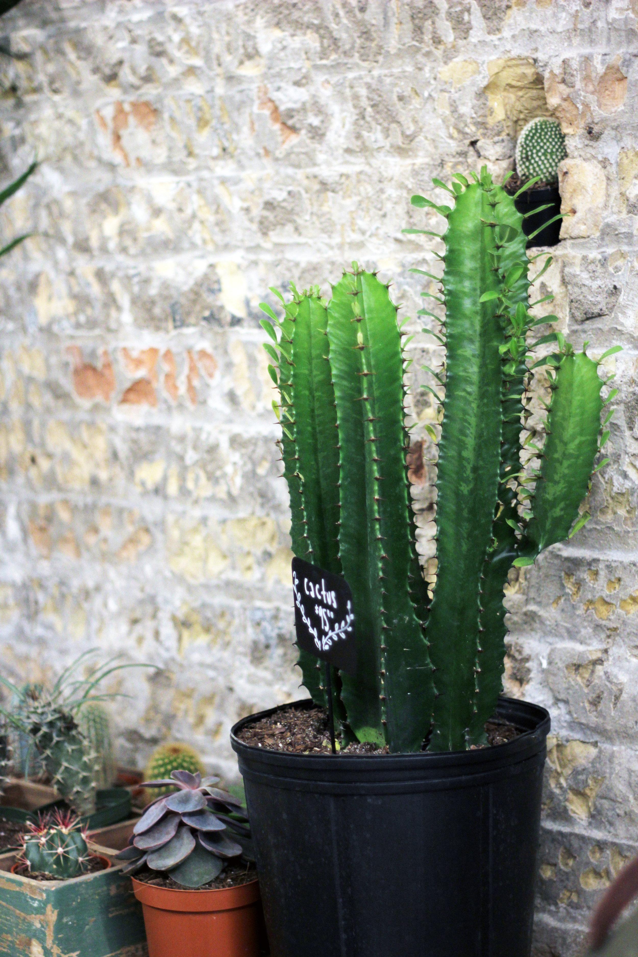 cactus in the west
