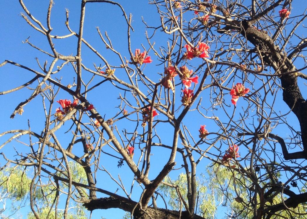 Kimberley rose.jpg