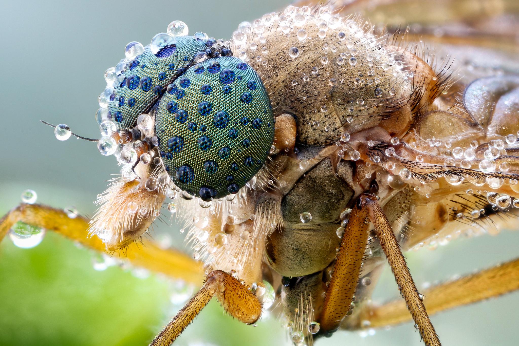 Snipe fly II