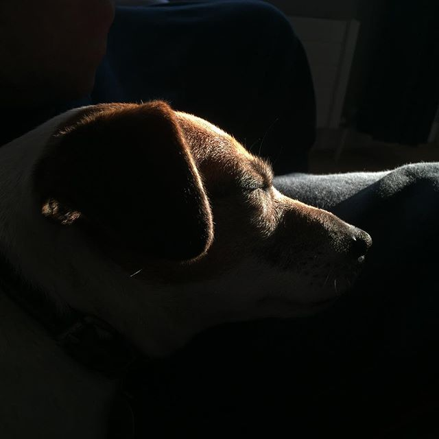 Finding the best light #dogsofinstagram #iphone6 #jackrusselterrier #springlight
