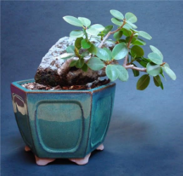 Fig 1- Here's a cutting taken of a larger Green Island Ficus that we stuck on a rock about 9 years ago.