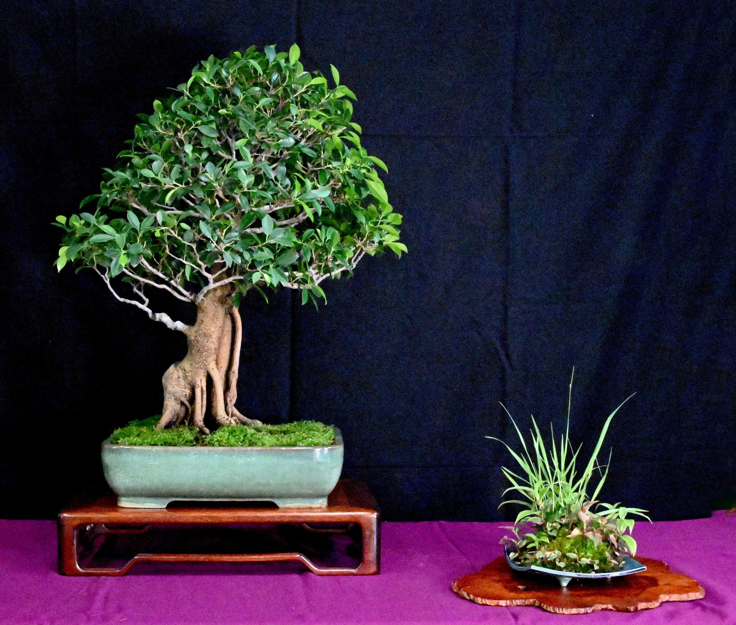 bonsai exhibit 11.jpeg