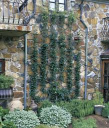 Espaliers command attention in the landscape. This candelabra design serves as the focal point in the author's side garden.