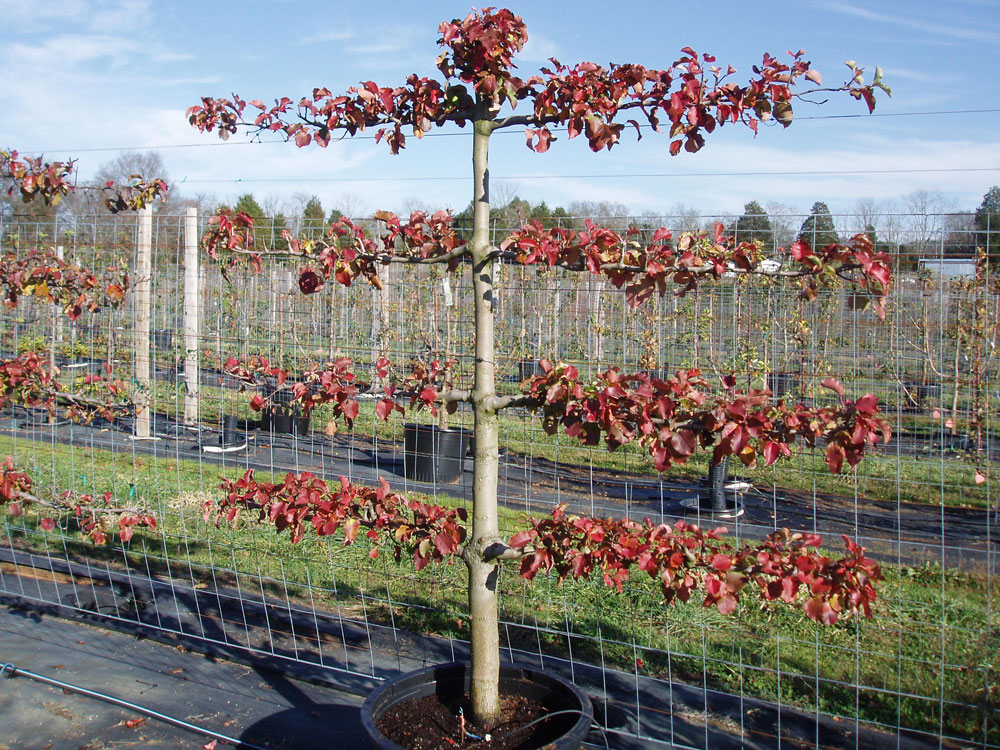 River Road Farms Espaliered Tree Nursery