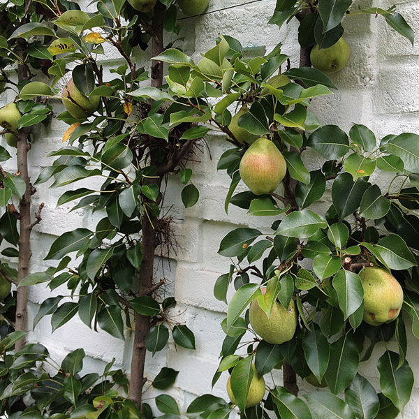 Fruit to boot.  A home orchard produces fresh, sustainable fruit, year after year. Plus, there is no doubt where it came from...your own garden.