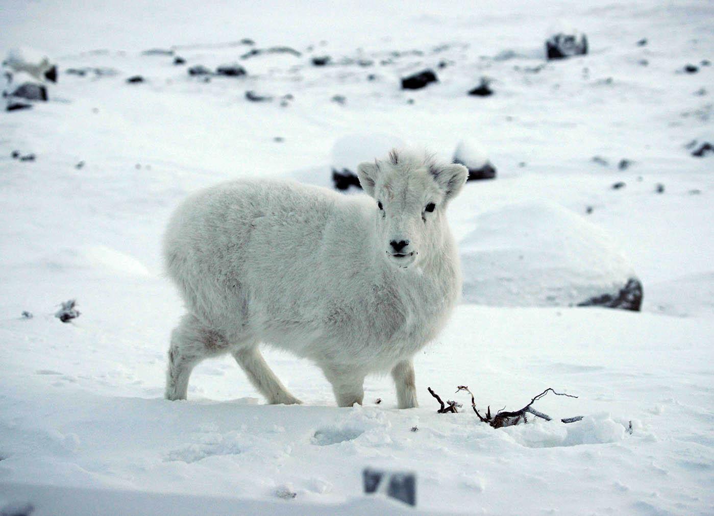 Dall sheep-3.jpg