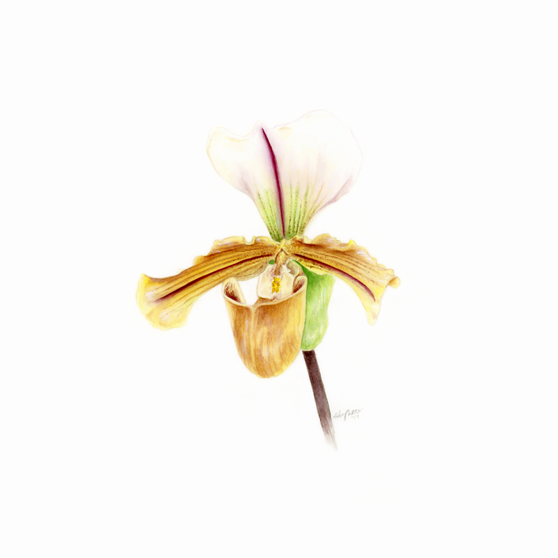 """Lady Slipper Orchid - Paphiopedilum maudiaeNamed from Paphia, one of the surnames of Aphrodite, and pedilon, meaning a sandal, the genus translates to """"Aphrodite's sandal"""", where we get this golden slipper orchid.original, 3.75x4.75"""