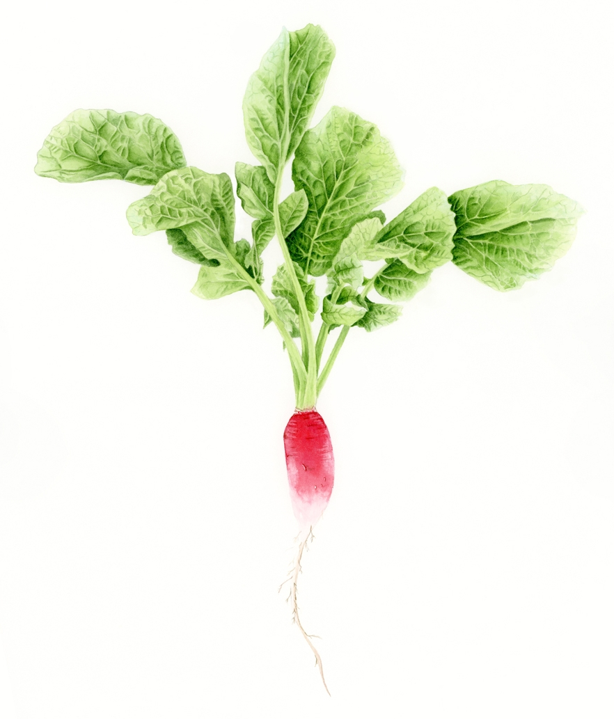 French Radish - Raphanus sativusFrench radishes are hard to find in the United States, but are sometimes seen in specialty grocers. Best if you grow your own or make a friend who does! They have a wonderful delicate flavor, and only mildly spicy.original, 8x11