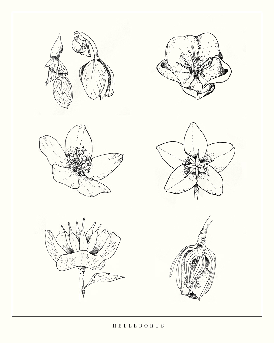 """Hellebore Blooming Stages - Helleborus orientalisDrawn from sketches of the many blooming hellebore species at the Bellevue Botanical Garden, this series depicts the many faces of the ever-varied winter Lenten Rose.original 14x11"""" pen and inkPurchase the print"""
