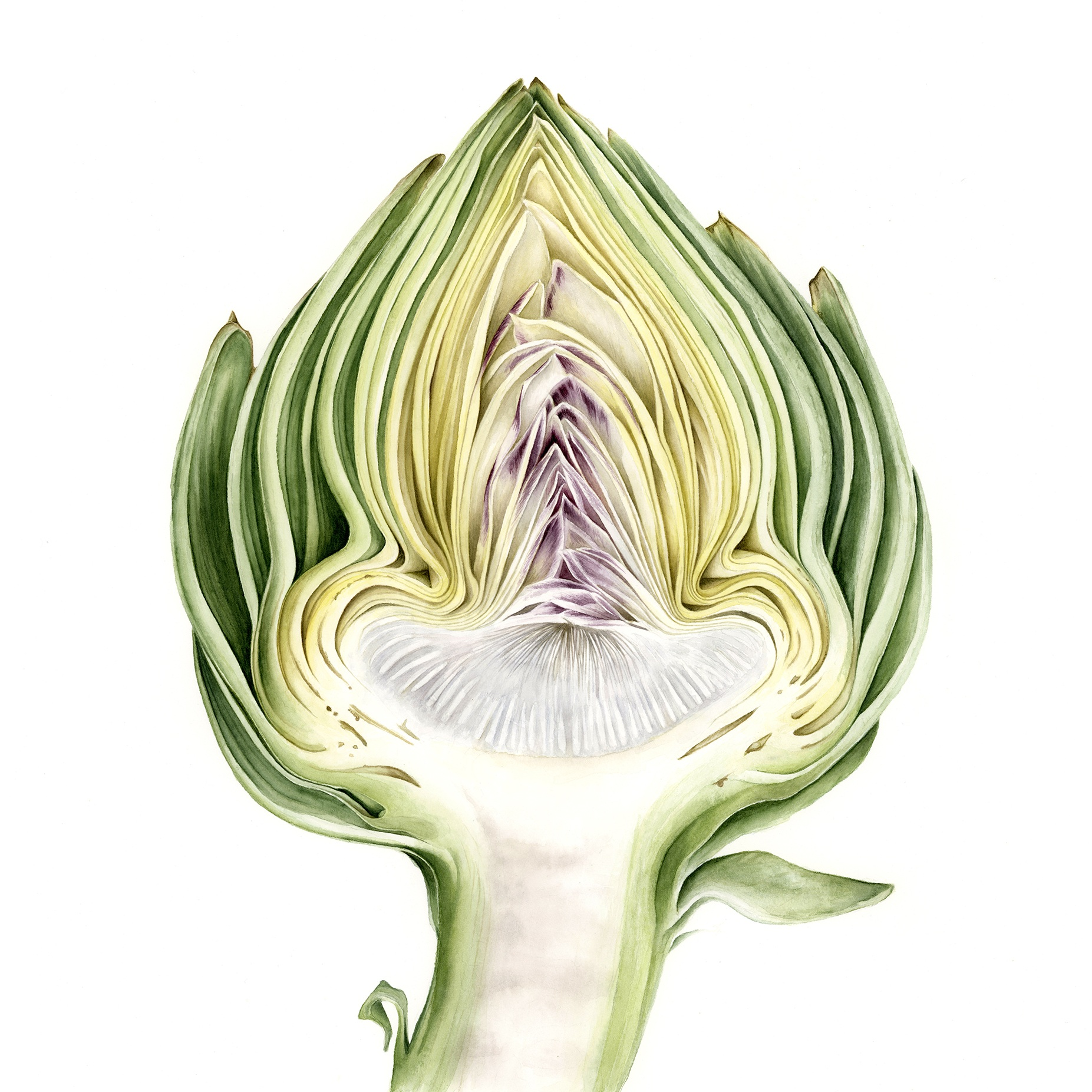 """Artichoke cross-section - Cynara scolymusAs this is the immature flower most commonly found in grocery stores, the inflorescence of the artichoke has deep and mysterious layers that reveal the varied color ranges, going from the outer bracts to the inner, softer, edible leaves. This depiction only shows the flowers as a delicate fringe that can irritate the throat if consumed. If left to nature, the artichoke flower matured into a beautiful muppet-like head of purple petals.original, 12x15"""" watercolor on Moulin du Roy hotpressed watercolor paper, 2019$1080Purchase the print"""