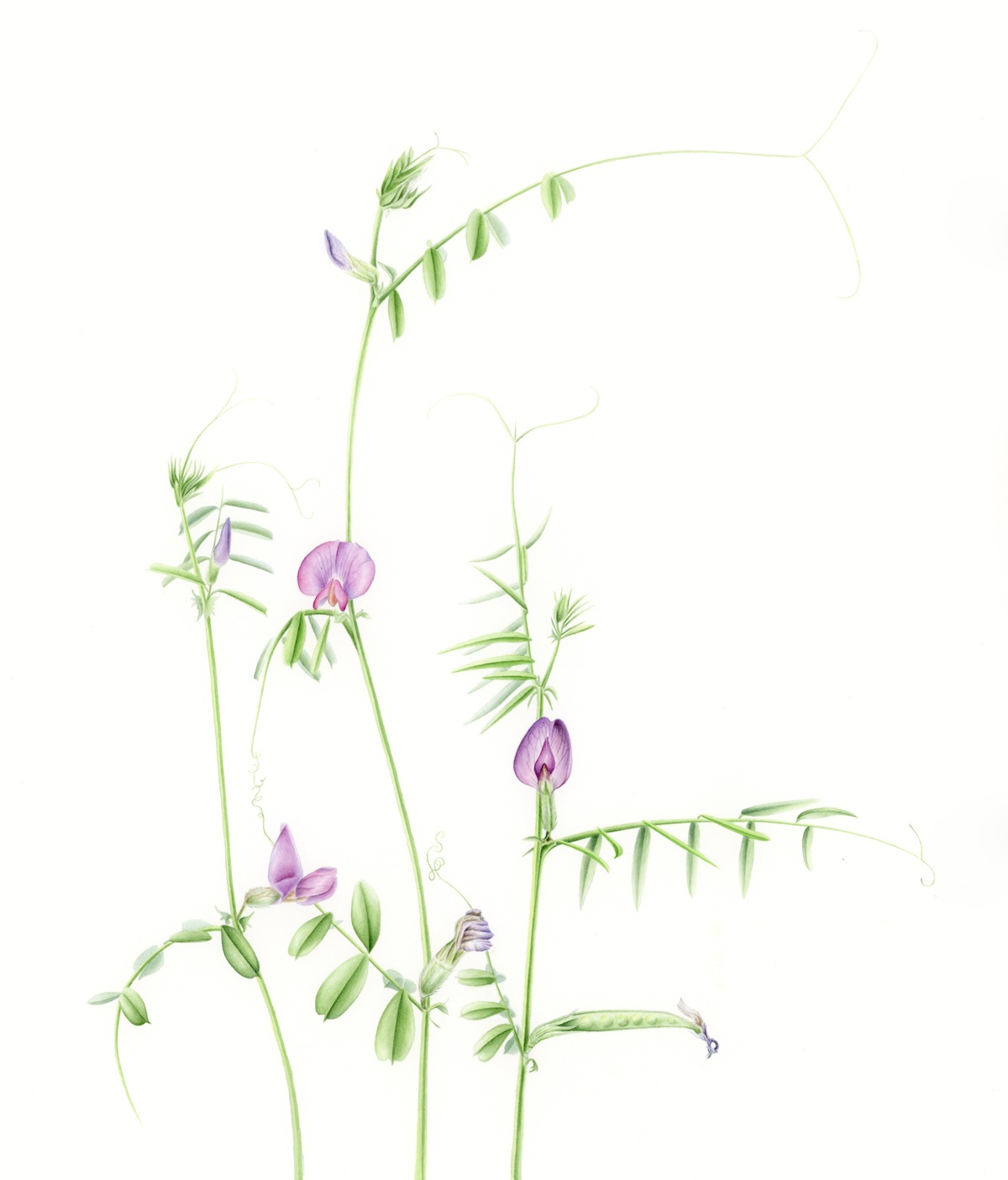 Common Vetch - Vicia sativaI found these charming little vines to be so delightful to learn about and draw. They are found globally, in their own variations; some with several blooms on each stem down to this singular version found here in the Pacific Northwest. They like sunny clearings and bloom in May, followed by the small (inedible) pea pods.original, 14x18
