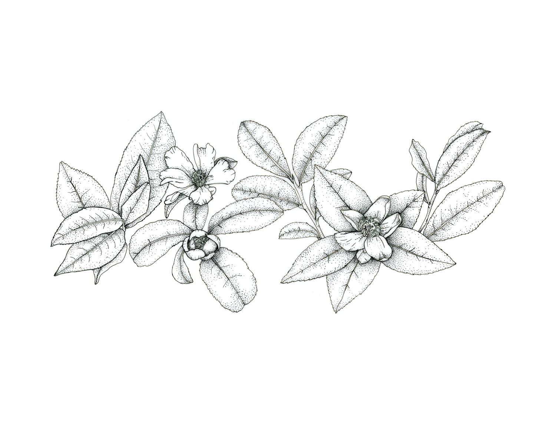 "Tea plant - Camelia sinensisoriginal, 11x14"" pen and ink on Duralar film, 2019$120Purchase the print"