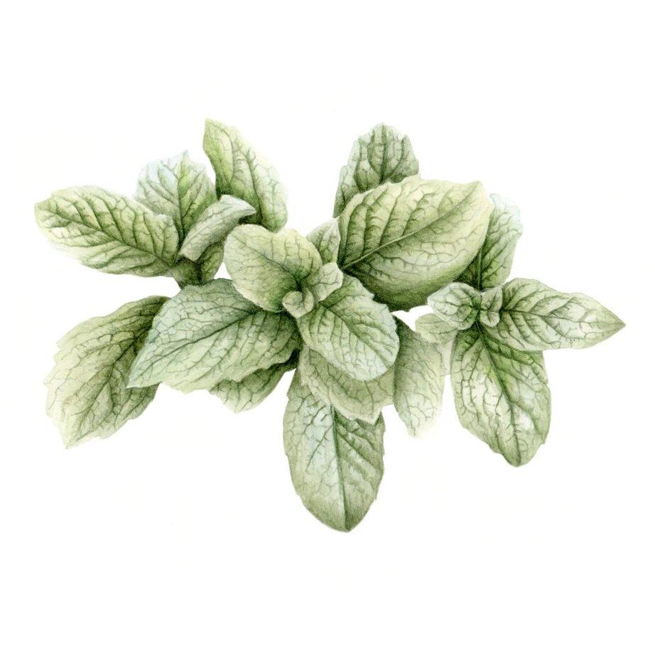 "Spearmint - Mentha spicataoriginal, 7x5"" watercolor on hotpress paper, 2019"