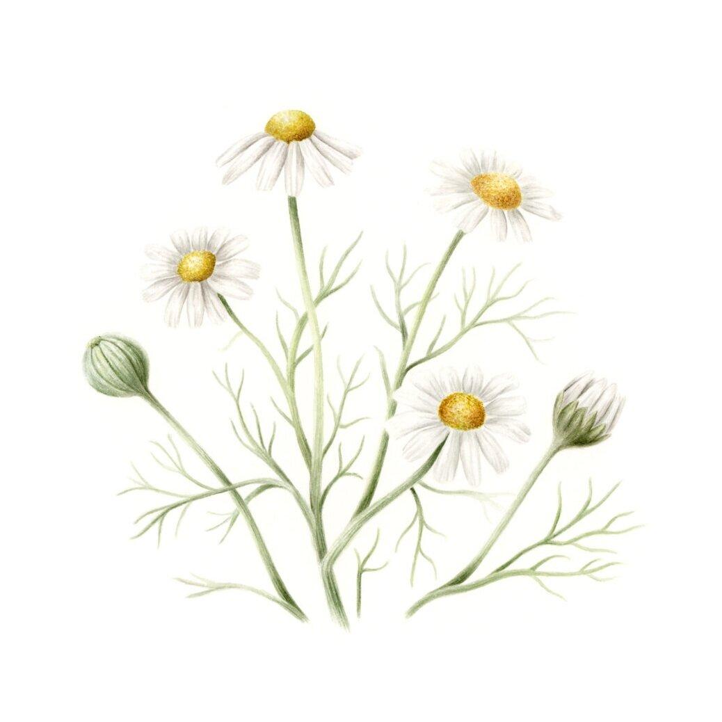 """Chamomile - Matricaria chamomillaoriginal, 6x6"""" watercolor on hotpress paper, 2019"""