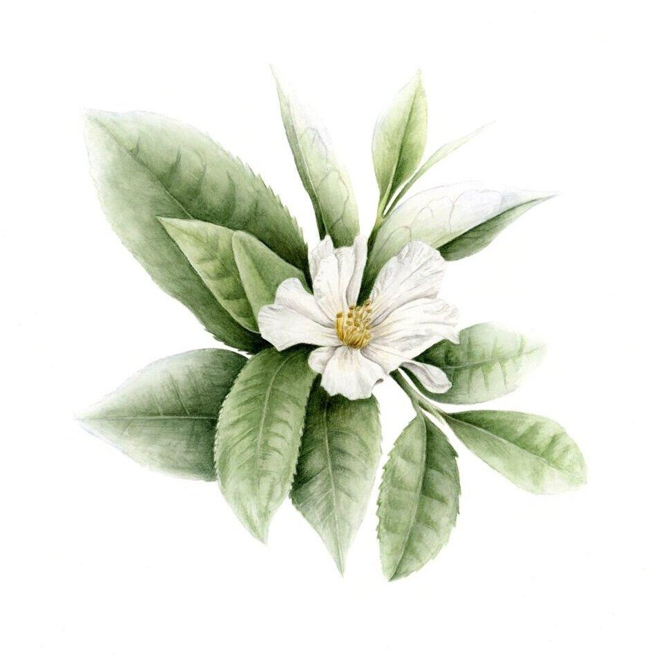 "Green Tea Plant - Camelia sinensisoriginal, 7x7"" watercolor on hotpress paper, 2019"