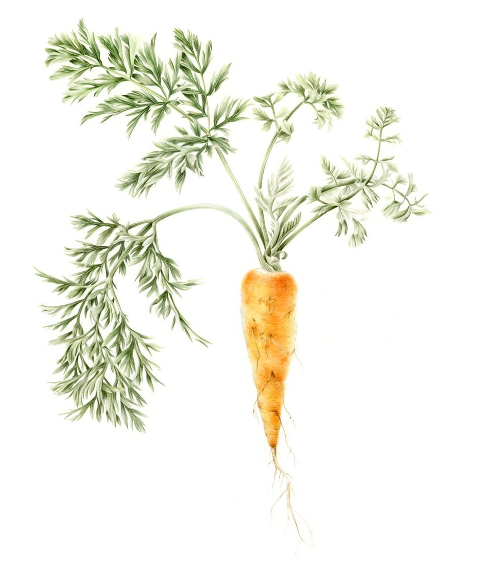 Carrot - Daucus carota subsp. sativusDomesticated from the wild carrot variety and close friends with Parsley and Celery, this umbellifer reportedly first originated in Afghanistan and has spread worldwide as a staple in almost every cultural diet.I found it best to paint from live carrots to capture the deep greens of the lacey leaves, so we made a lot of soup the summer of 2019 as I worked through the complicated layers.$1100 originalPurchase the print