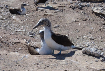 Blue-Footed Booby, Réne Valdez