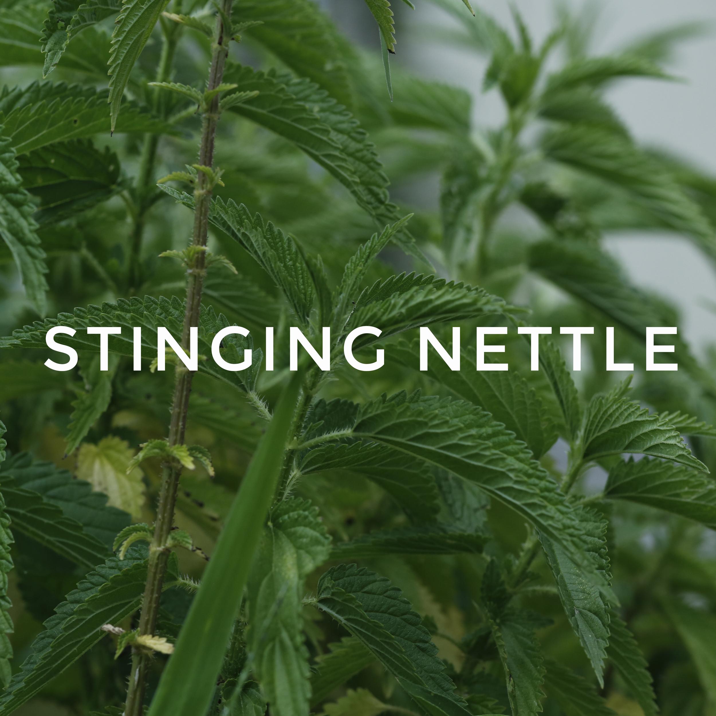 -24Stinging Nettle.jpg