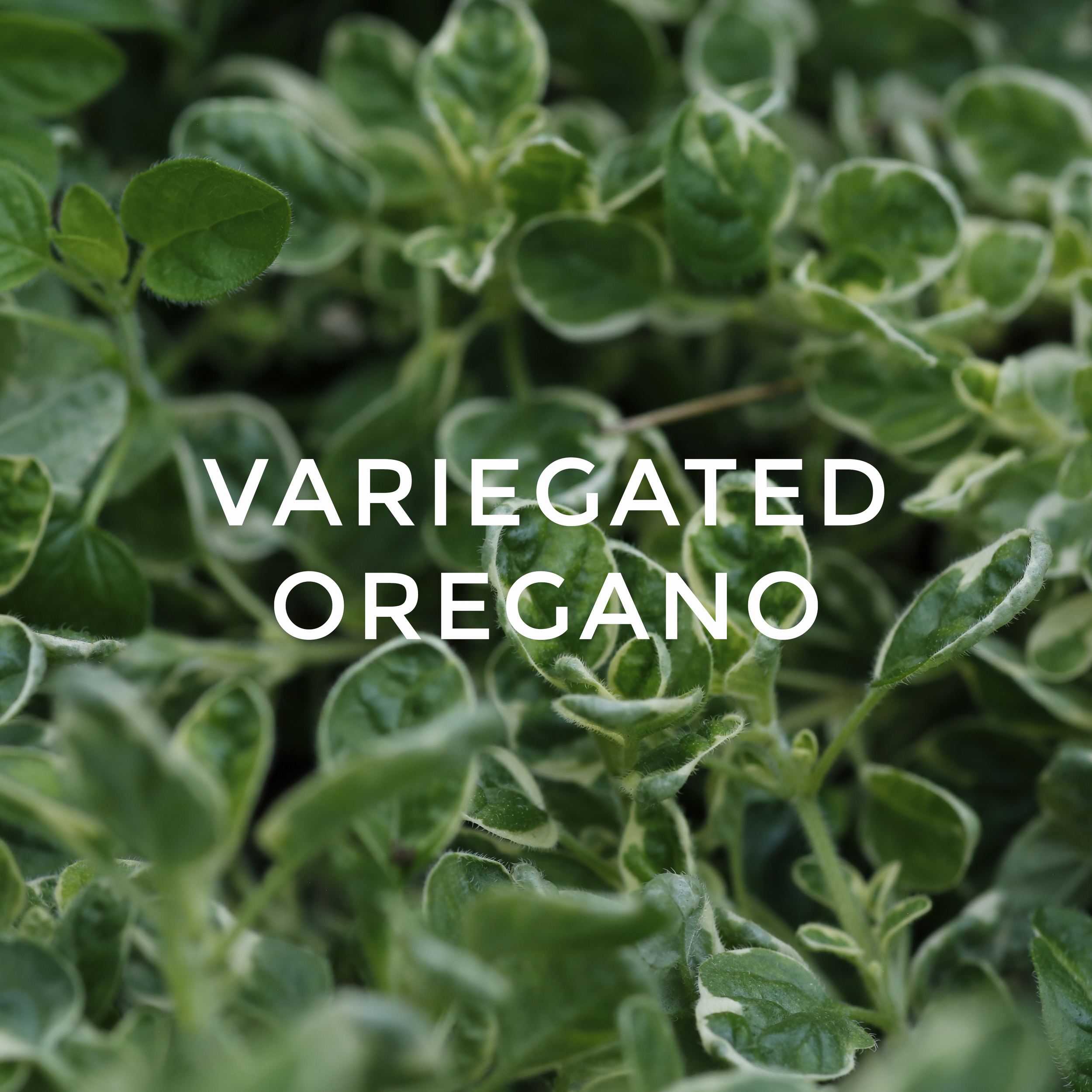 -36Variegated Oregano.jpg