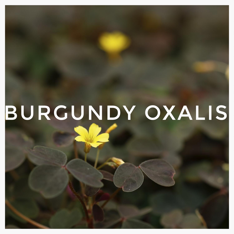 -4Burgundy Oxalis.jpg