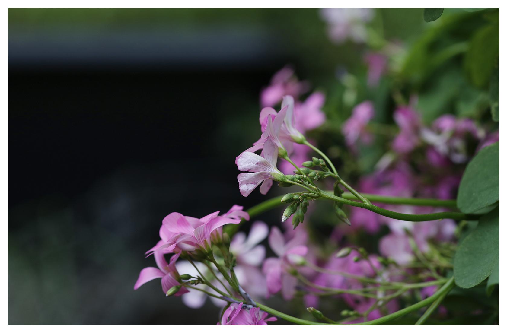 Strawberry Oxalis Blooms