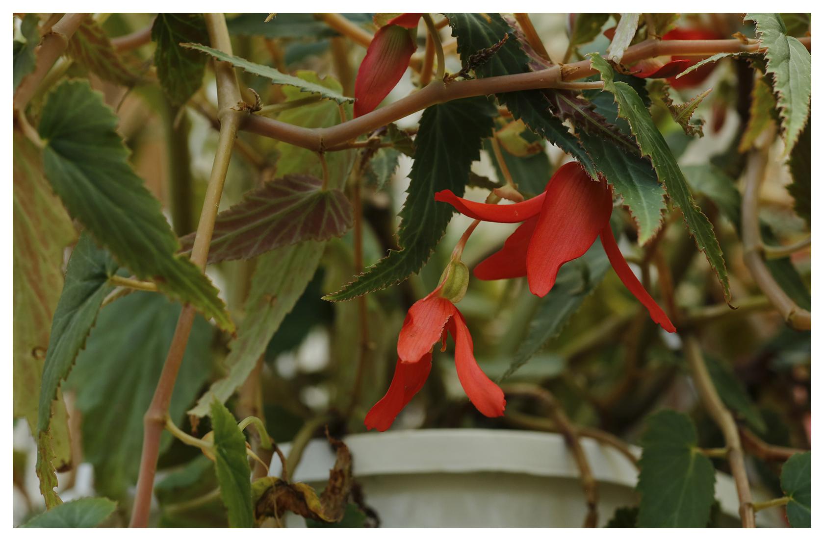 Dragon's Tongue Begonia