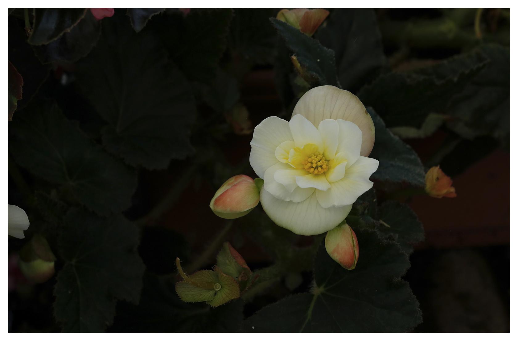 Rose Blossom Begonia