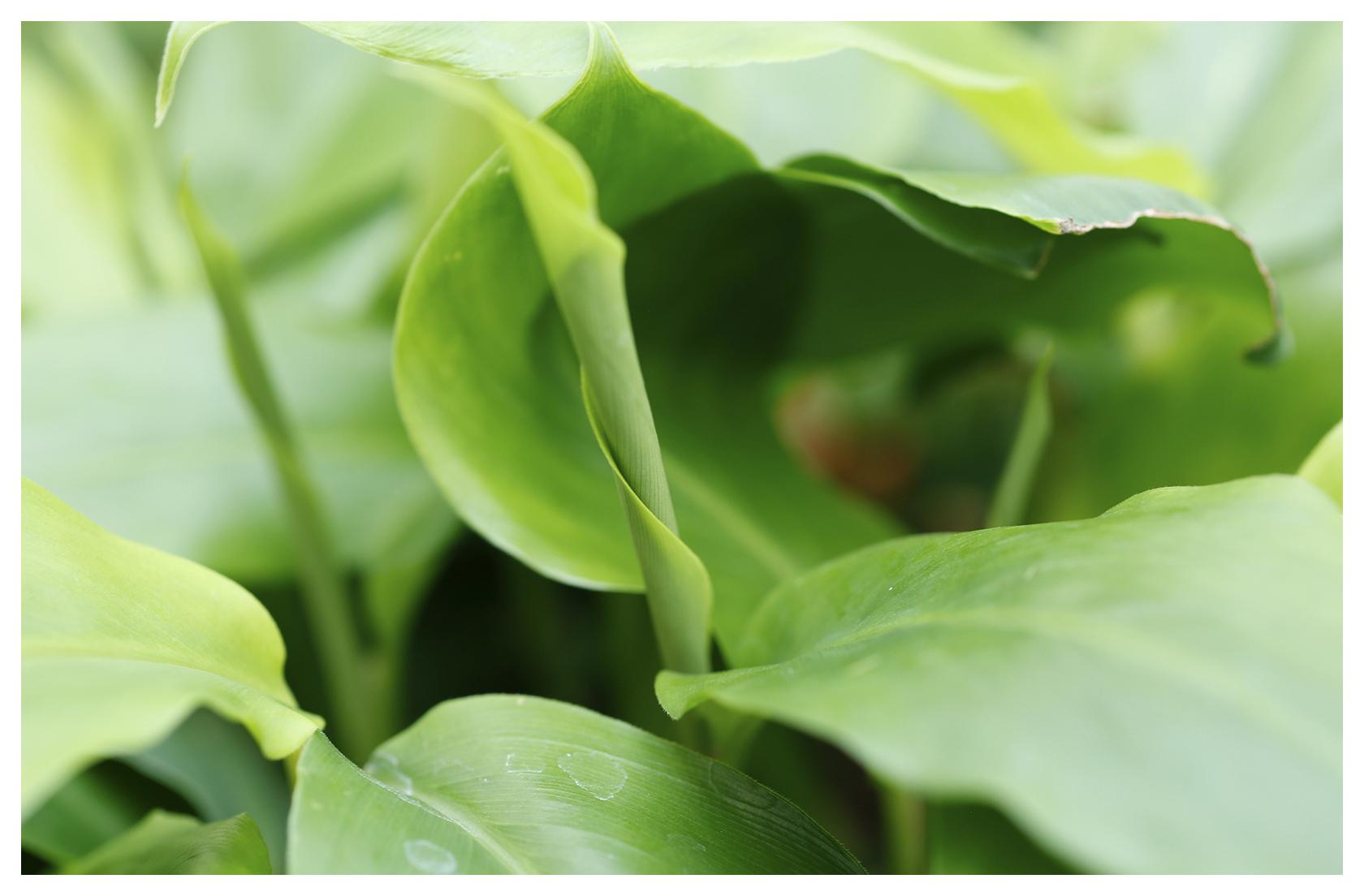 Cardamon Leaf