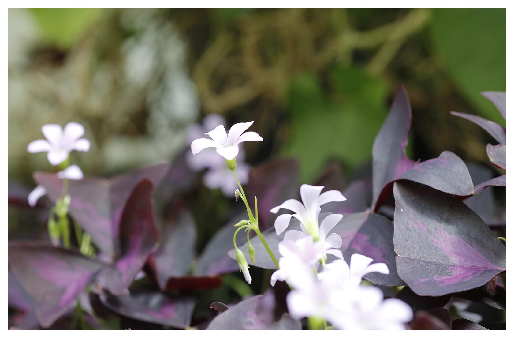 Large Leaf Purple Oxalis
