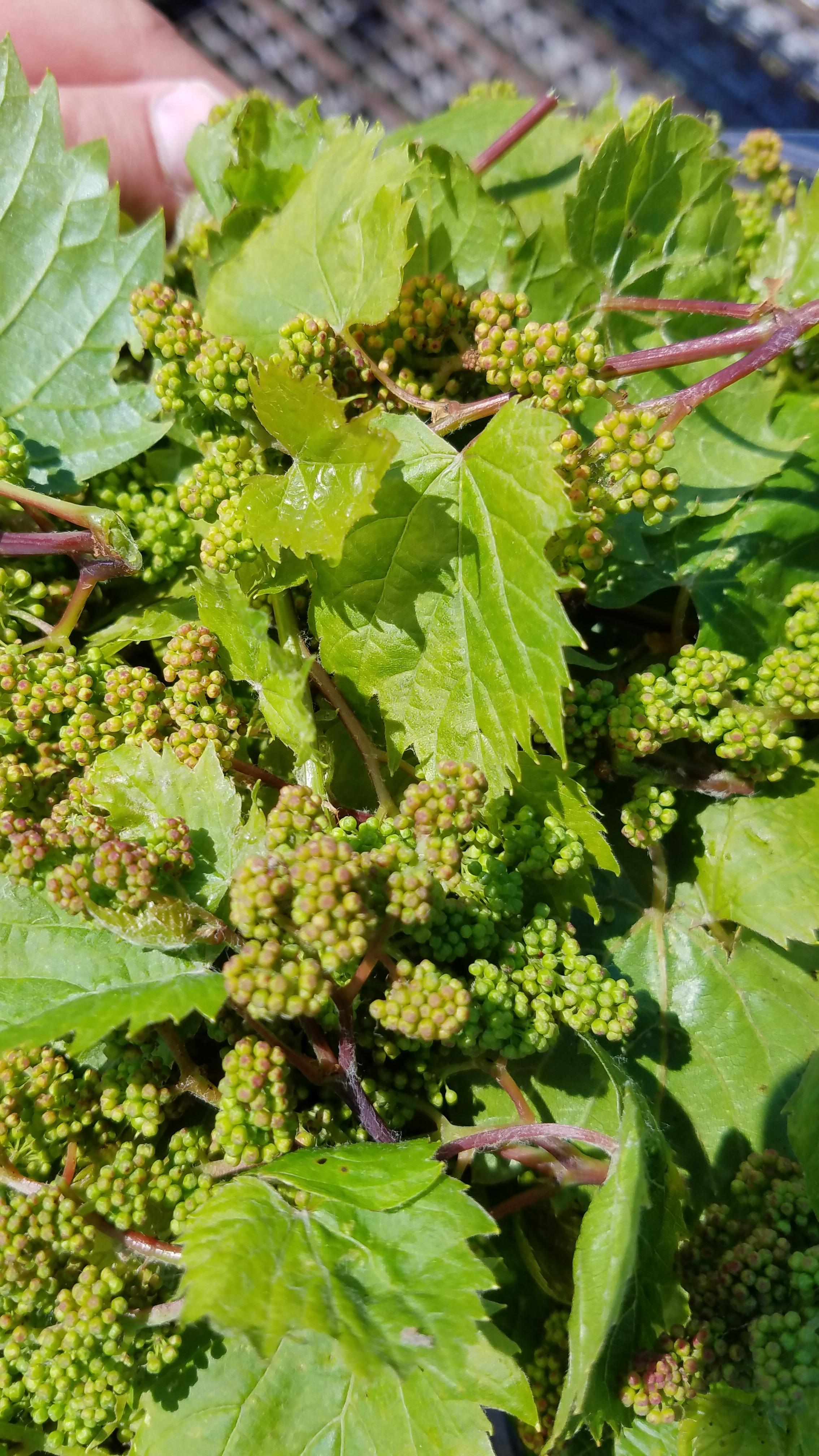 Wild Grape Buds