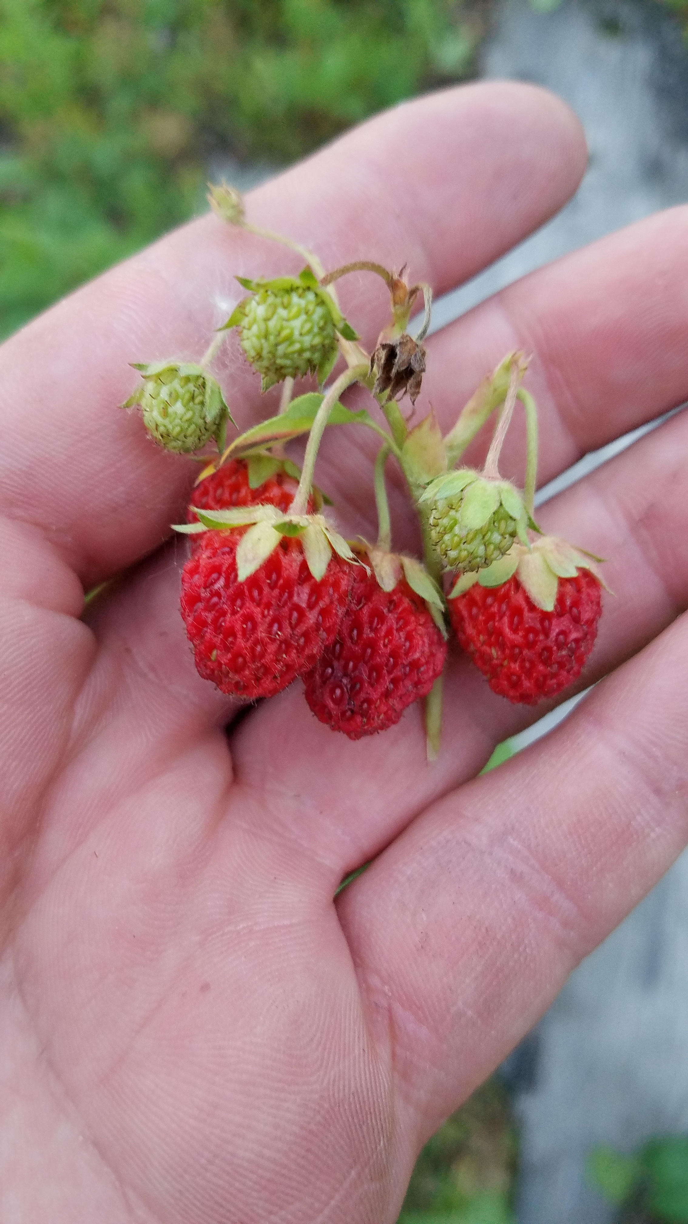 wild strawberries.jpg
