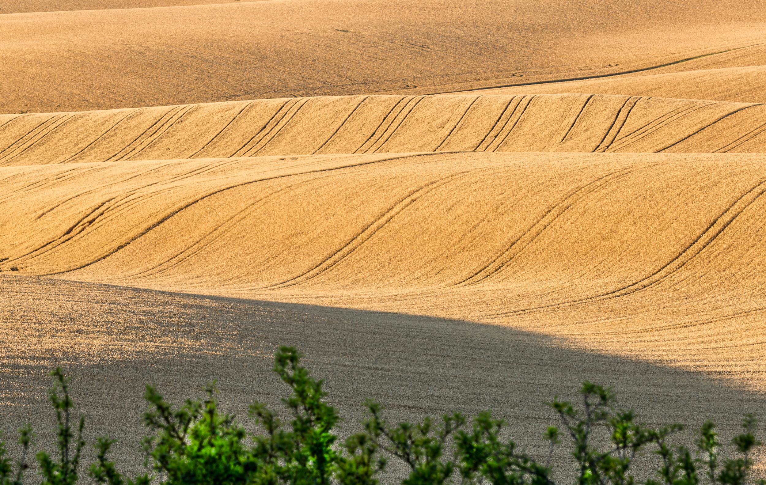 Landscape Wheat Field, Hertfordshire