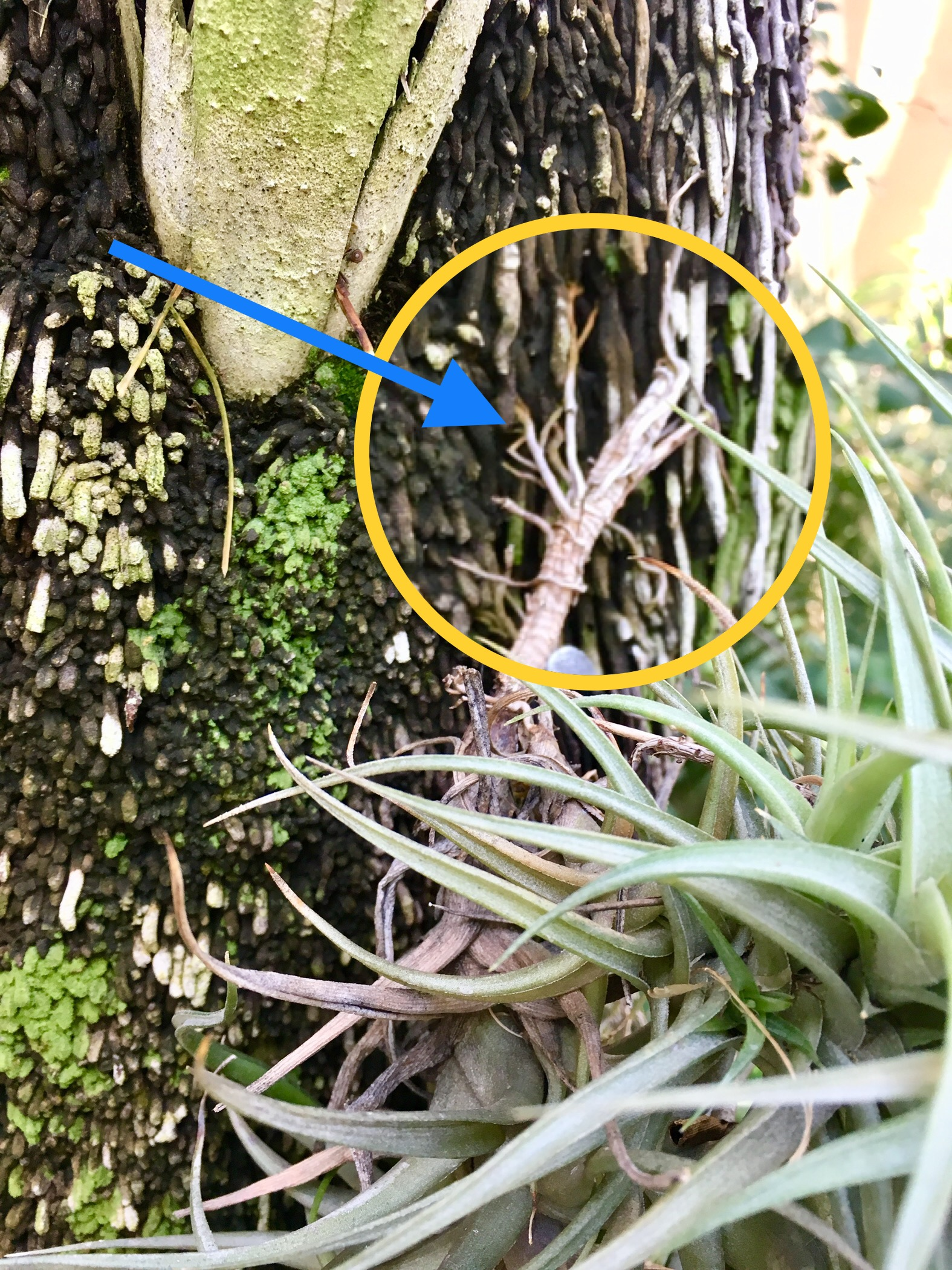 Tillandsia roots attaching itself to a host plant.