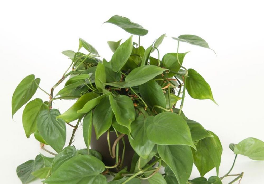 Philodendron Plant.jpg