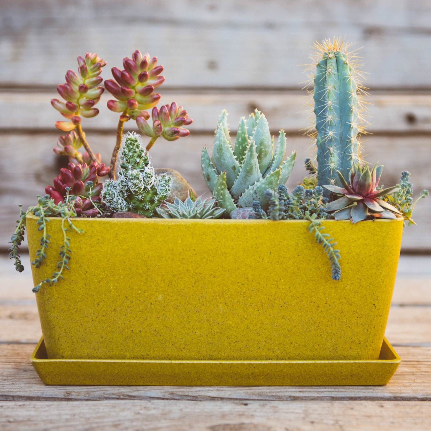 Plant based living gift arrangement. Custom plant order consisting of colorful succulents in harvest colored biodegradable eco pots by Ecofroms. Biodegradable pot, harvest color pot, mustard color pot, succulent garden, succulent arrangement, cactus garden  Plant Design By: The Potted Poppy, San Diego