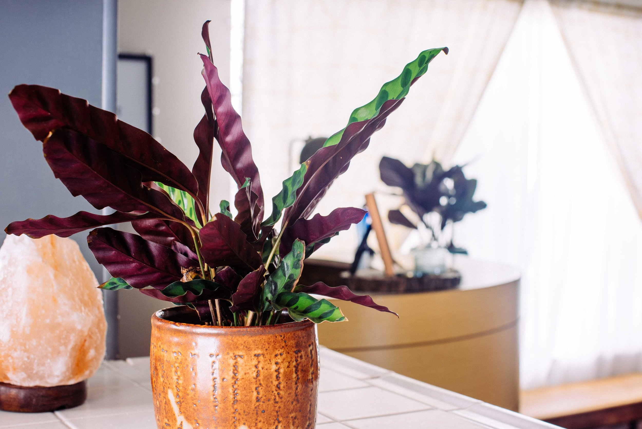 Calathea lancifolia aka Rattlesnake Plant in the day time.