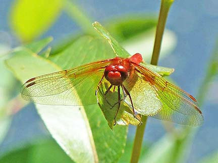 Adult male cardinal meadowhawk drgonfly at lost lagoon.