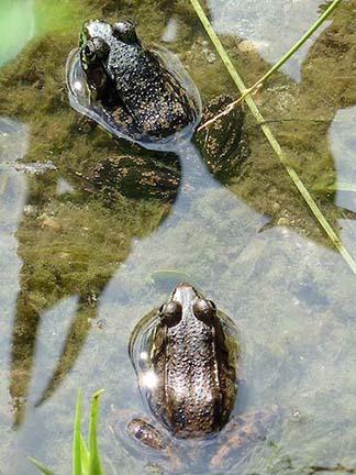 Tree Frogs in stanley park.
