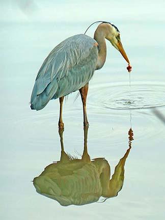 Great Blue heron at stanley park.