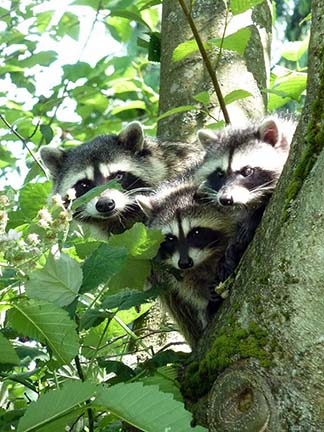 Mother racoon and cubs at lost lagoon.