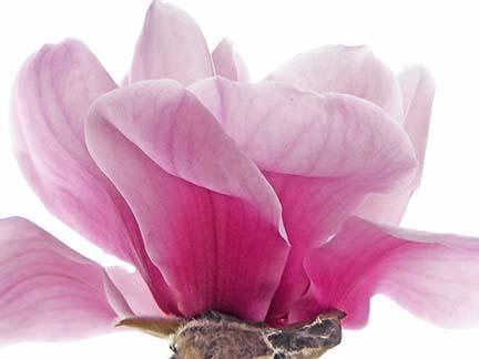 Haro Street magnolia tree flower.